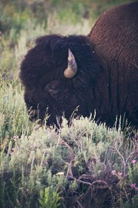 Yellowstone National Park - Bison