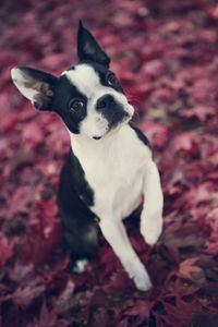 Boston Terrier in Fall Leaves - shellyQ photography & art