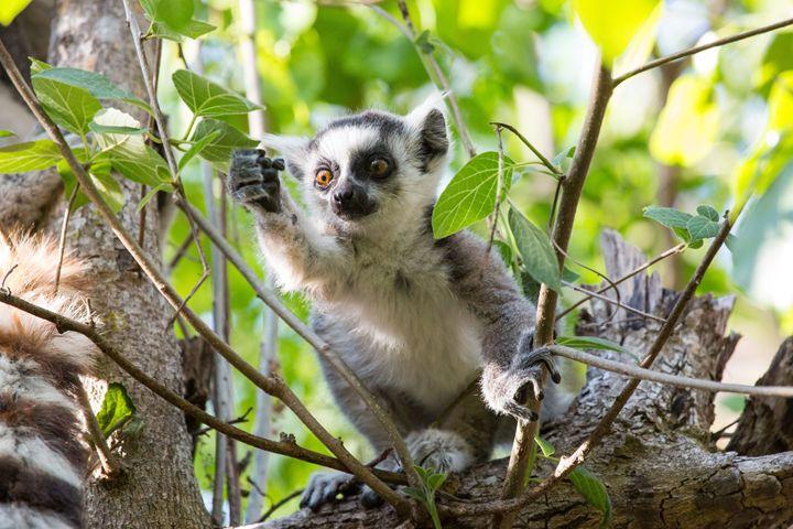 Lemur Baby - Heatherae Photography