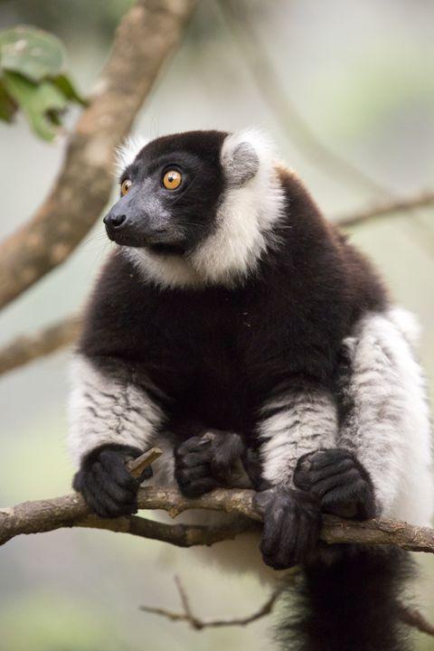 Ruffed Lemur - Heatherae Photography