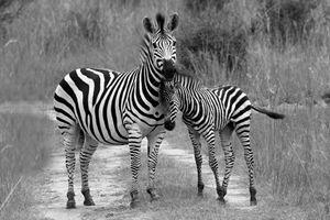 Zebra Love II - Heatherae Photography
