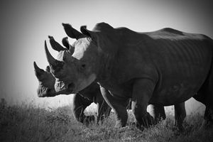 White Rhino II - Heatherae Photography