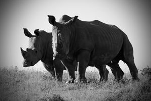 White Rhinos - Heatherae Photography