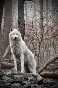Wolf Pose II - Heatherae Photography