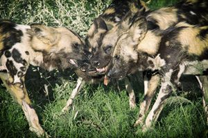 Wild Dog Feeding