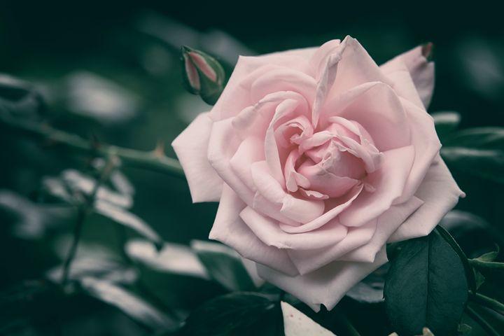Pink Rose II - Heatherae Photography