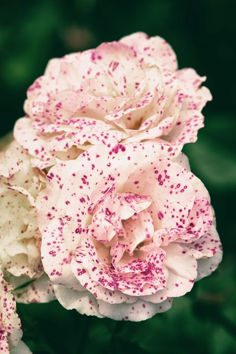 Spotted Roses - Heatherae Photography