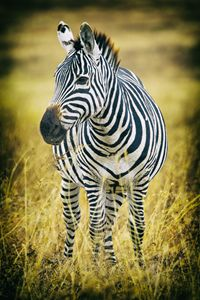 Zebra - Heatherae Photography