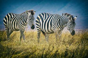 Zebras - Heatherae Photography