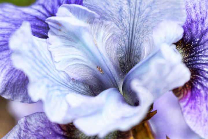 Iris - Heatherae Photography