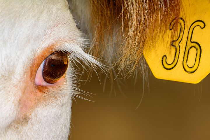 Close up of Hereford Cow - Jarrett Art