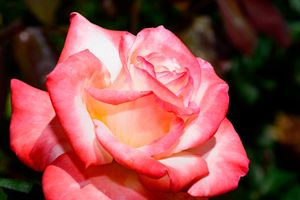Single Pink Rose in garden