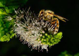 Honeybee on Mint Blossums - Jarrett Art