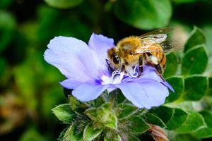 Honeybee Blue Pastel - Jarrett Art