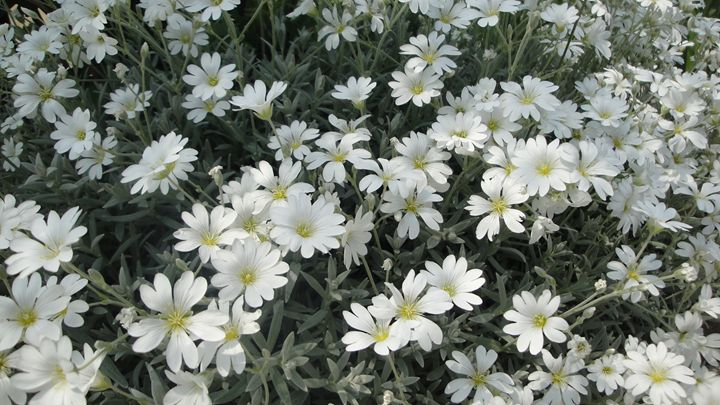 white flowers - jamie-art