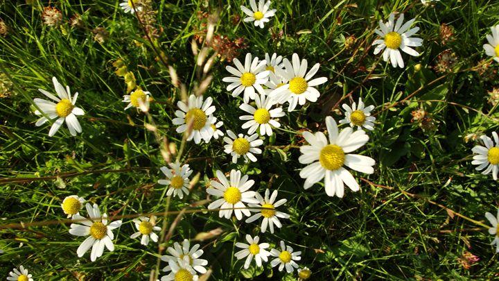cluster of daisies - jamie-art