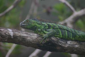 Celebration of the Lizard 4