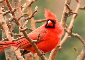 Red bird resting