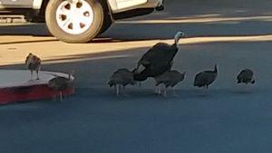The turkeys crossing the road