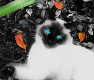 Angel Eyes Siamese