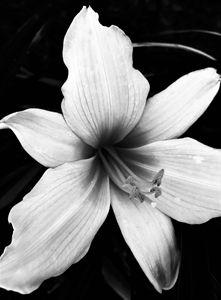 White Lily 2