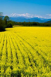 Yellow rape flower field and snow-ca