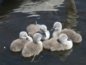cygnets at play
