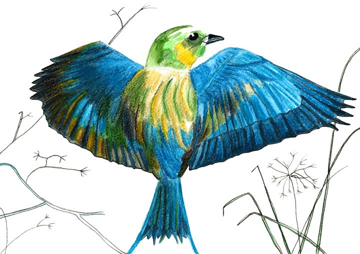 Humming-Bird - CALIOPE (Cali Norton)
