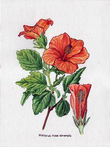 Rose of china Hibiscus rosa sinensis