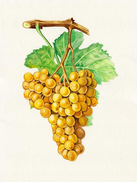 "The grapes ""terret blanc"" - Jean-Luc Bernard"