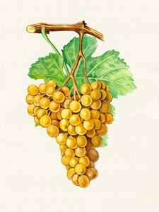"""The grapes """"terret blanc"""""""