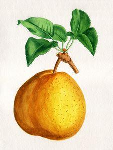 "Pear ""Duchesse de Mouchy"""
