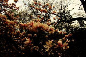 Dark Cherry Blossoms