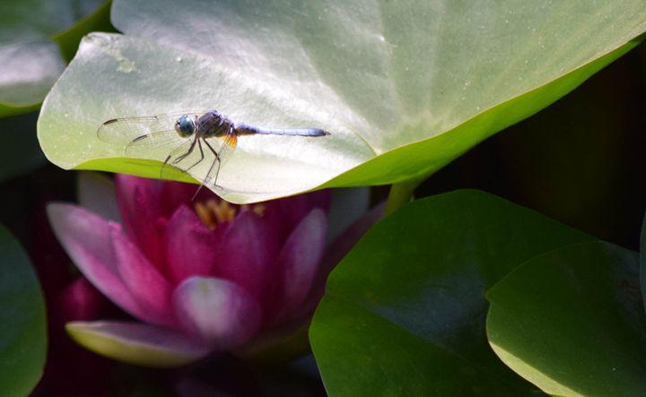 Dragonfly & Lotus - KJordan Photography