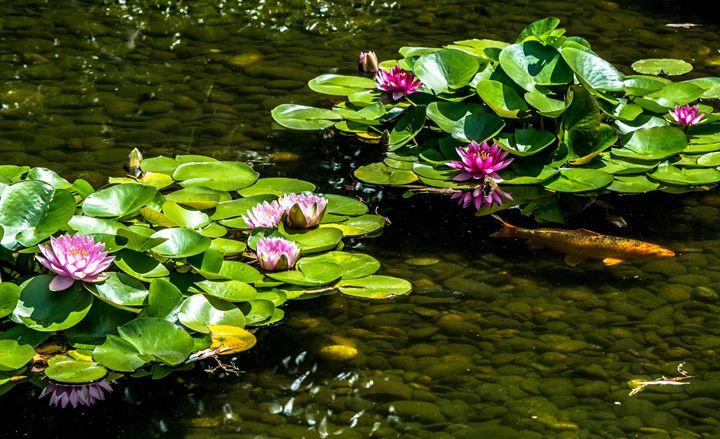 Lotus & Koi - KJordan Photography