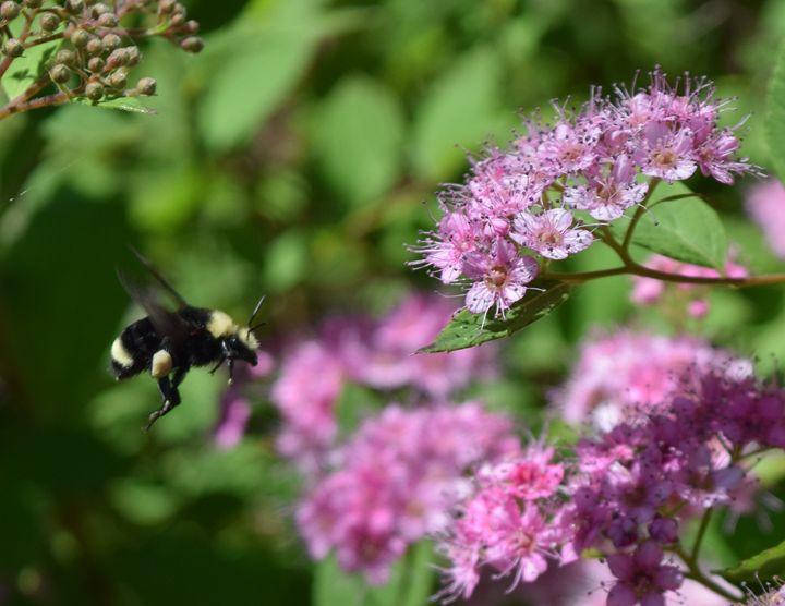 Flight of the Bumblebee - KJordan Photography