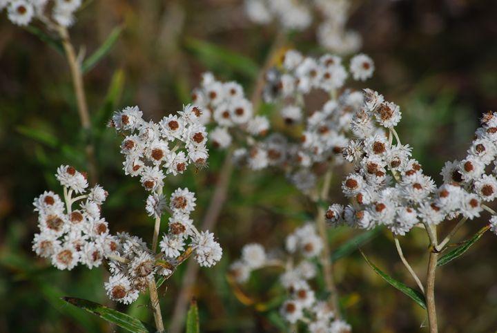 Yarrow - Achillea millefolium - Wend Images Gallery