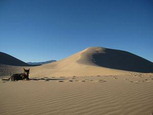 Cattle Dog in the Desert