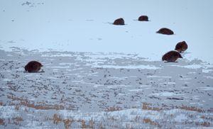 Grey Partridge North Dakota - Guffalas