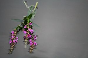 Serene Purple