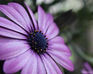 Purple Osteopermum