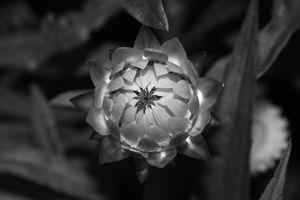 Golden Strawflower