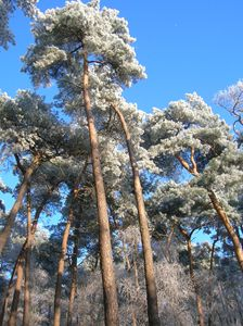 Pine trees with hoarfrost