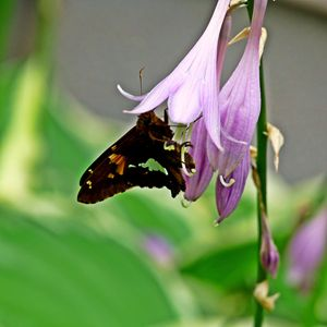 Moth on a Hosta