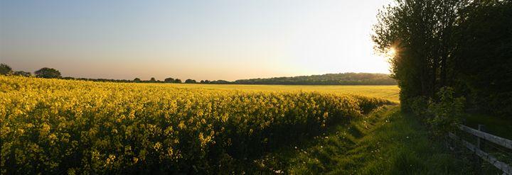 Mustard Field - Gem Photography