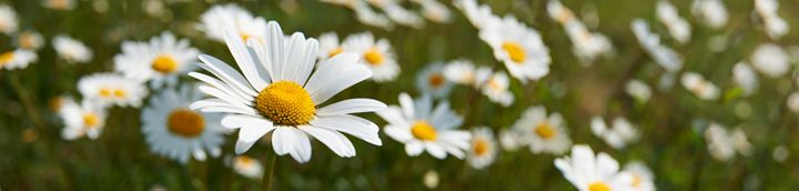 Daisies - Gem Photography