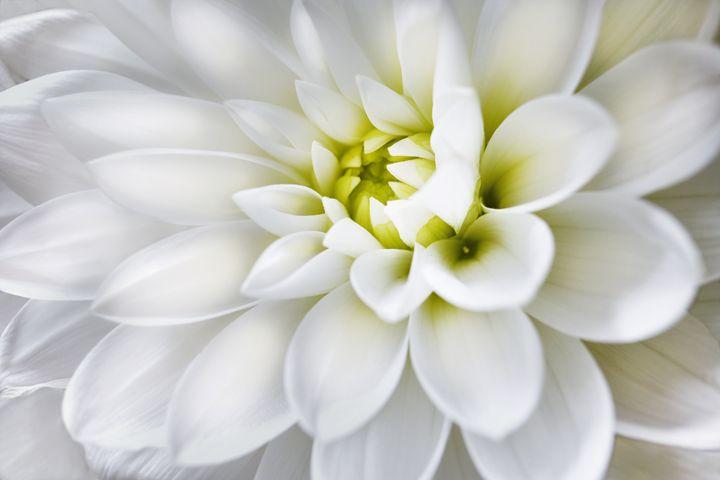 White Dahlia - Gem Photography