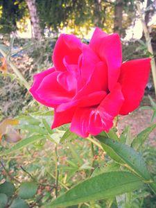 Arrière-cour Rose