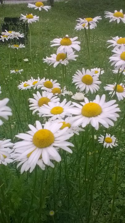 Daisy - Mandes collection
