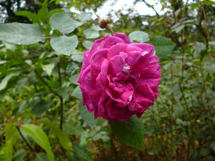 Rose - Chand Ran
